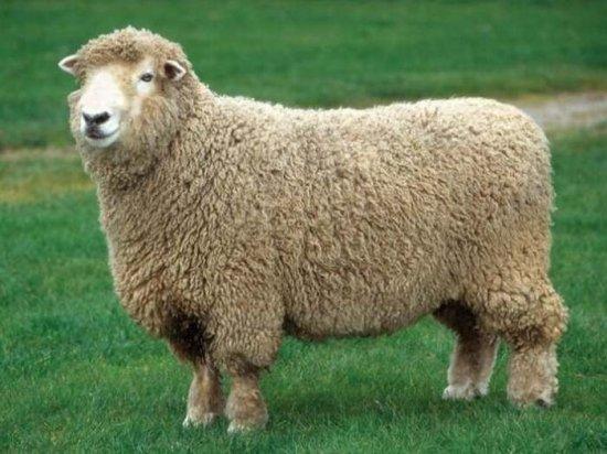 información-sobre-la-oveja-11